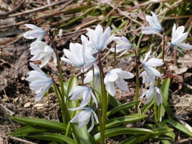 春の花プシュキアリバノティカ