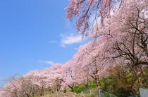 四季折々の花々が楽しめる当地では見事な桜も愛でられます。烏帽子山の千本桜は毎年4月中旬が見ごろです。