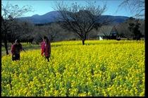 さくらの里 菜の花畑