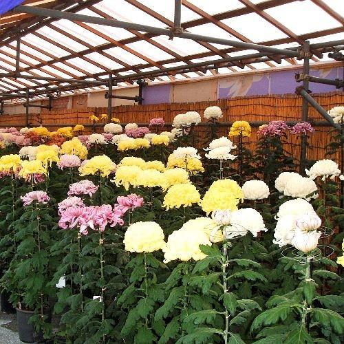 10月菊花展