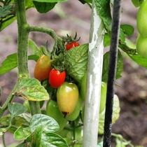 【自家菜園】トマト、きゅうり、ナス