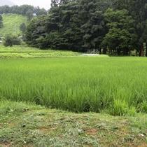 【田んぼ】自家製米がすくすく
