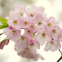当館真裏の東山公園の桜はおすすめ!