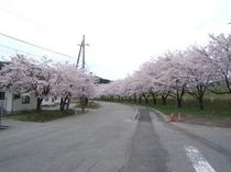 高瀬温泉の桜堤