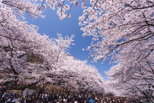 上野公園 桜