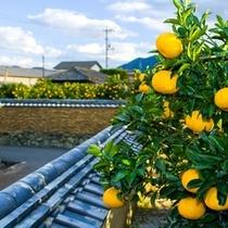 夏みかんと城下町「萩」の風景