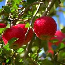 リンゴ狩り体験 10月〜11月中旬 秋の味覚と紅葉狩り