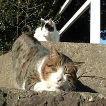 *飼い猫のぴょん助&たま。心地よさそうに仲良く階段で日向ぼっこ.。○