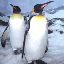 *鴨川シーワールド/仲良しの王様ペンギン君たち。