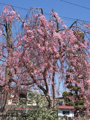 玄関横の桜