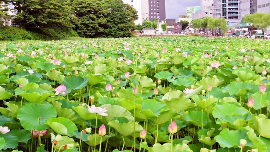 【千秋公園】お堀一面に広がる蓮の花は写真映えも抜群です。