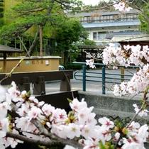 【春:松乃湯前の桜】