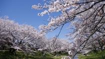 【春:玉湯川沿いの桜】  約400本の桜の木が並ぶお花見スポット。