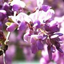 23種類100株の藤の花が見えます(4月末頃)