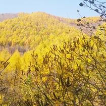 *【周辺】高原一帯を黄金色に染め上げるカラマツの紅葉は見事です。
