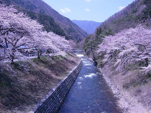 しましま谷の桜