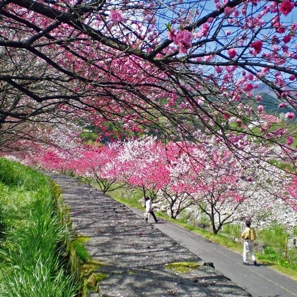 園原・花桃の里(2)