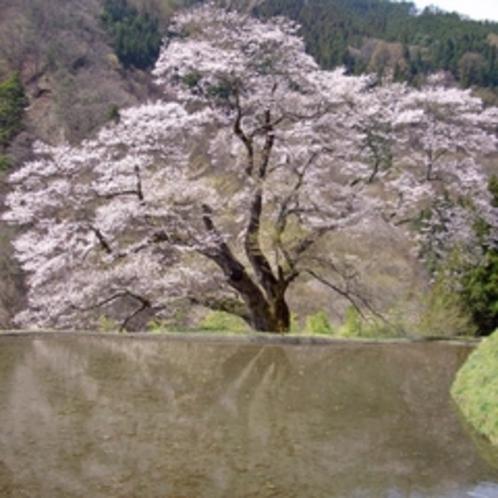 【駒つなぎの桜】