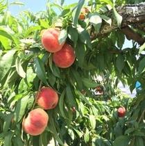 甘くて美味しい桃狩り