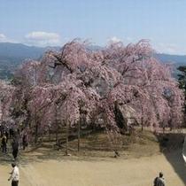 麻績の枝垂れ桜