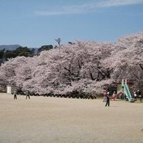 高森南小の日本一の学校桜