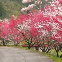 花桃の木 GW頃に咲きます!!