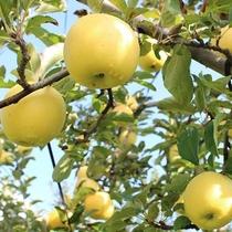 長野県はリンゴの生産地です!リンゴ狩りがおすすめ!