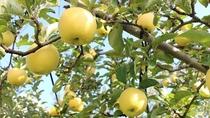 長野県はリンゴの生産地です
