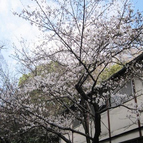 和歌山市内の桜