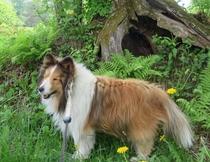 ブルーベリーの看板犬・コロといっしょに散歩に行きませんか?