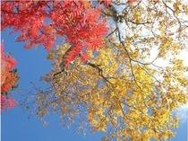 Alps紅葉ナナカマド&岳樺