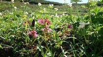 高山植物 ショウジョウバカマ