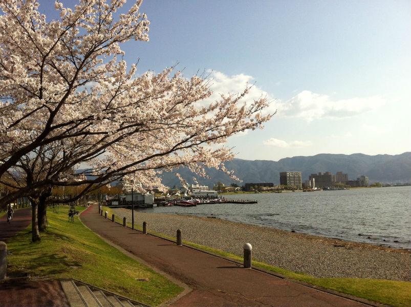 諏訪湖の桜並木