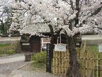 上田藩藩主屋敷跡の桜