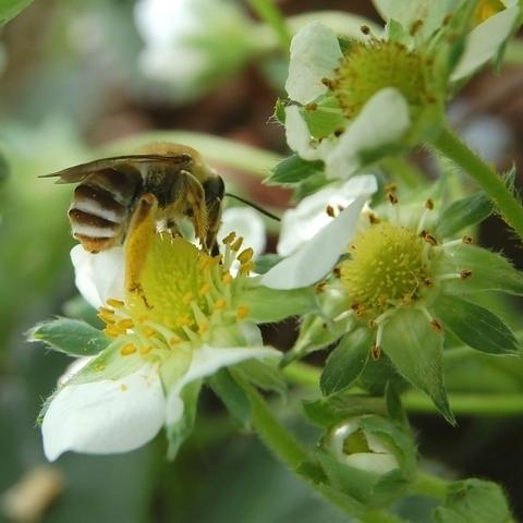 「いちご」…花を楽しむよりは「いちご狩り」を楽しむようになるでしょう。1月〜5月下旬まで楽しめます。