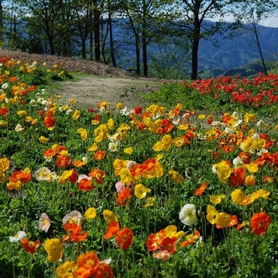 「花の回廊」…旧ゴルフ場の地形・自然林を活用した総面積36,500m2に、春秋の2回花を咲かせます。