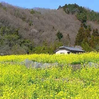「菜の花」…皆野寄居有料道路「皆野IC」下車すぐ。近くには秩父の野菜を扱っている農協もあります。