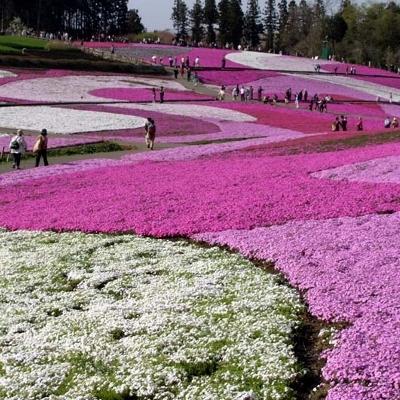 「芝桜」…見頃は4月下旬から。地元人でさえ毎年見に行くほどの価値があるスポットです。