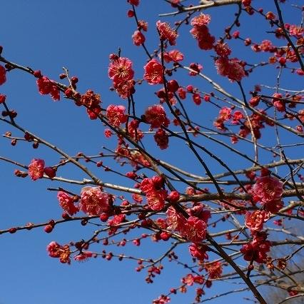 「紅梅」…秩父ミューズパークの梅園では、「白加賀」「野梅」「豊後」など15種類が咲き乱れます。