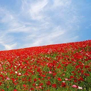 「ポピー」…見頃は5月中旬〜6月上旬となり、見頃の土日には「天空を彩るポピー祭り」が開催されます。