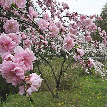 「花桃」…小鹿野町の秩父札所31番へ向かう道路沿いでは、約1000本を4月中旬・下旬に楽しめます。