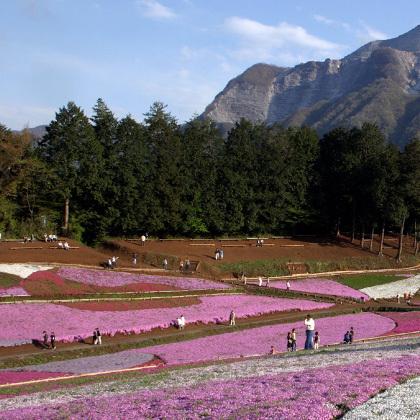 「芝桜」…ちちぶ路の花スポットの代表格、羊山公園「芝桜の丘」です。4月中旬〜GW頃が見頃です。