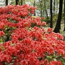 「ヤマツツジ」…当館前の「美の山」では約3,500株が群生しており、5月上旬・中旬に楽しめます。