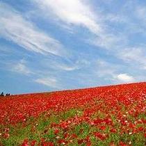 「ポピー」…秩父高原牧場では、3.5ヘクタールの敷地に1千万本のポピーが植栽されています。