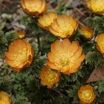 「秩父紅」…福寿草の一種で珍しい品種。皆野町「ムクゲ自然公園」にて3月上中旬にご覧頂けます。(有料)