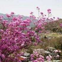 「岩ツツジ」…当館近くの「瑞岩寺」裏の岩山にて4月上旬・中旬に楽しめます。山頂までは徒歩で登ります。