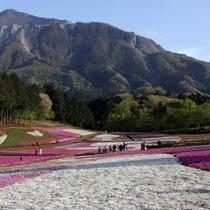 「芝桜」…2010年は、広さ約17,600平方メートルの敷地に、40万株以上の芝桜が植えられました。