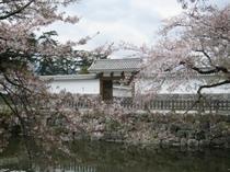城址公園桜並木9