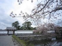 城址公園桜並木10