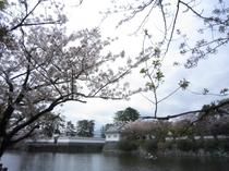 城址公園桜並木5